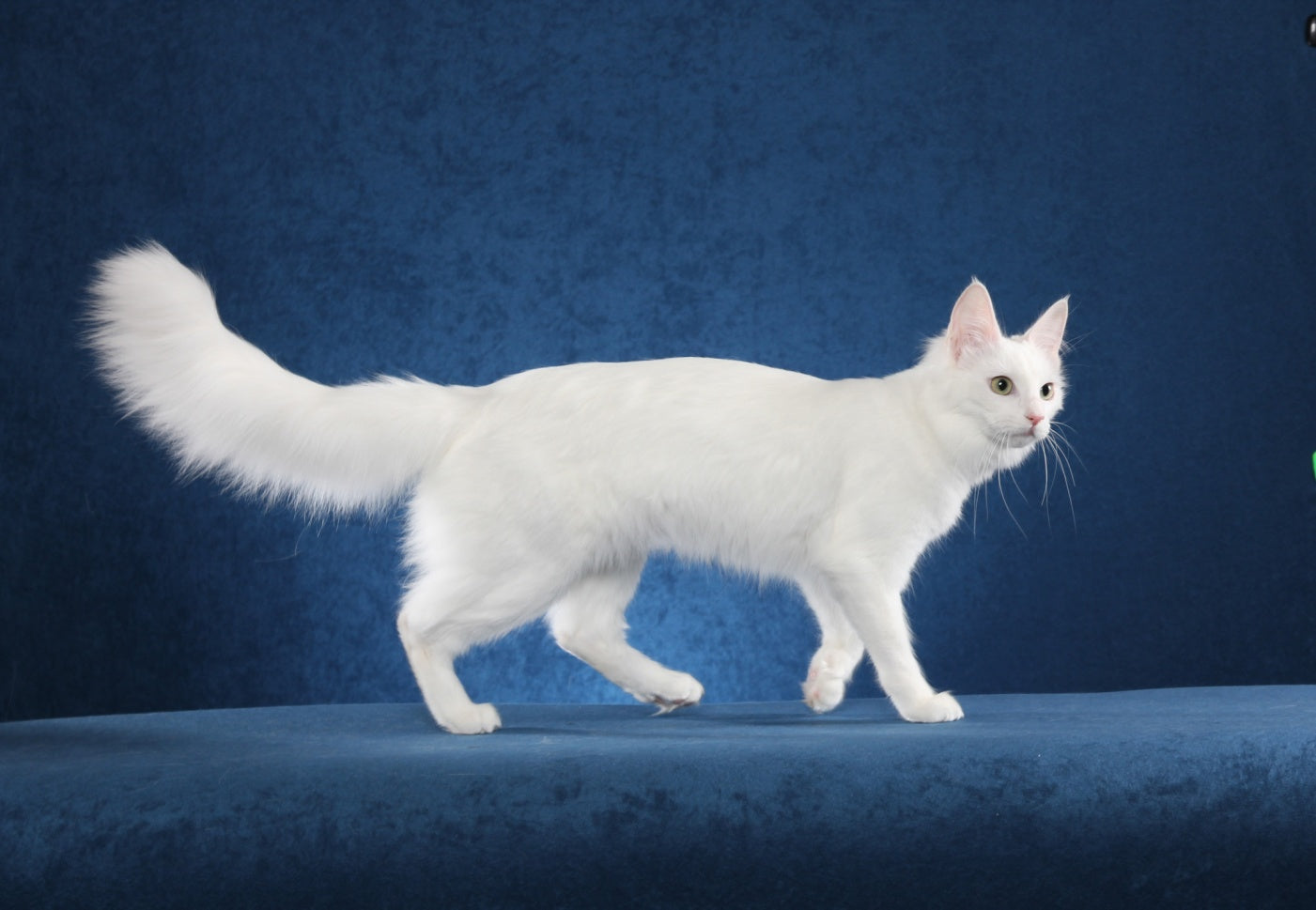 Cat Breed Spotlight: The Turkish Angora