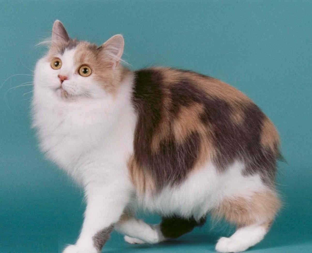 Cat Breed Spotlight: The Cymric