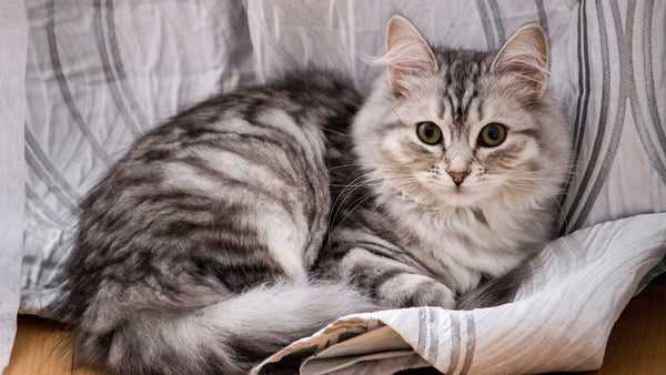 Cat Breed Spotlight: The Siberian