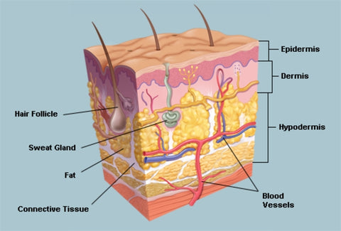 Skin Layers   WebMD   MotherEarth Inc.