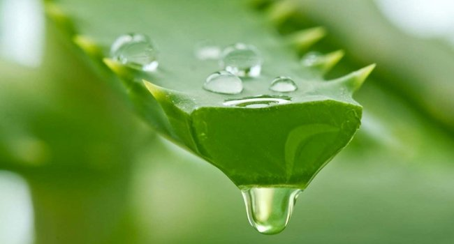 Benefits of Aloe Vera | kulture.store
