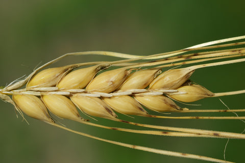 barley-health-benefits-immune-system