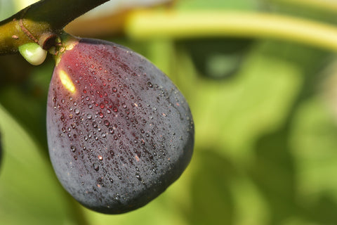 fig-ancient-fruit-many-health-benefits
