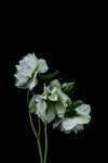 White Hellebores Greeting Card