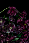 The Masters - Hellebores | Helen Bankers Photography