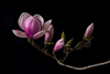 The Masters - Pink Magnolia | Helen Bankers Photography