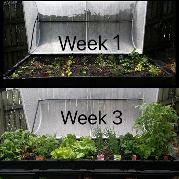 Vegepod raised garden bed at week 1 and week 3