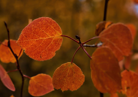 Orange Autumn Leaf