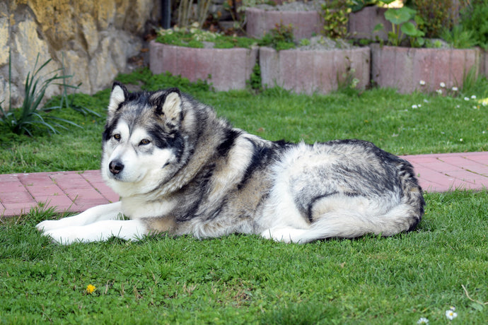 10 Things to Know Before Getting an Alaskan Malamute