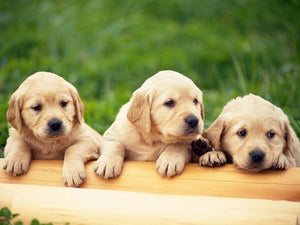 Price Range Of Labrador Puppies For Sale In Jaipur