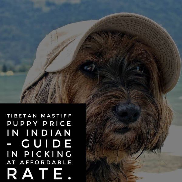 Tibetan Mastiff Puppy Prices in India – Guide in Picking at Affordable rate