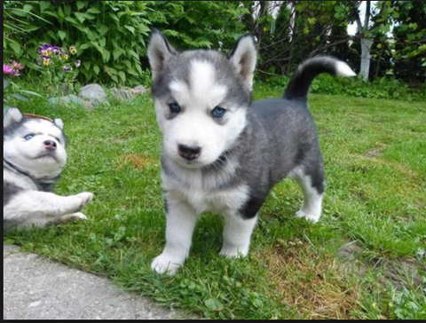 Siberian Husky dogfather