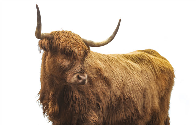 Highland Cattle II by Adam Mowery | stretched canvas wall art