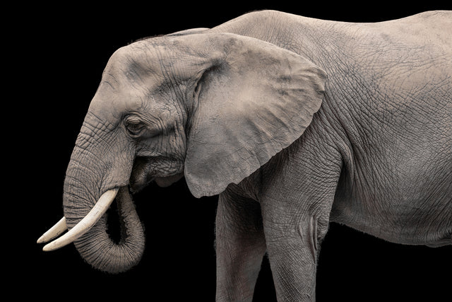 Elephant II by Adam Mowery | stretched canvas wall art