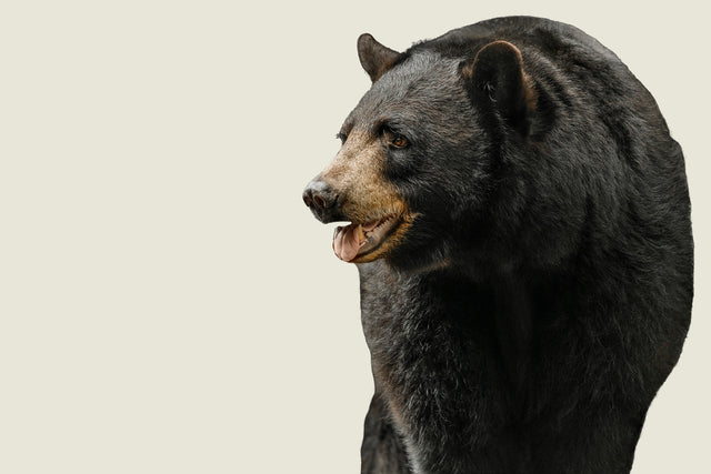 Black Bear II by Adam Mowery | stretched canvas wall art
