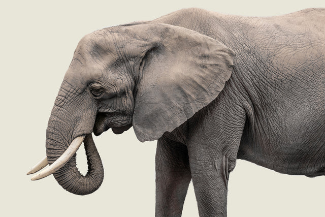 Elephant III by Adam Mowery | stretched canvas wall art
