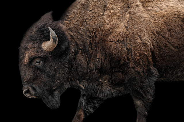 Buffalo on Black I by Adam Mowery | stretched canvas wall art