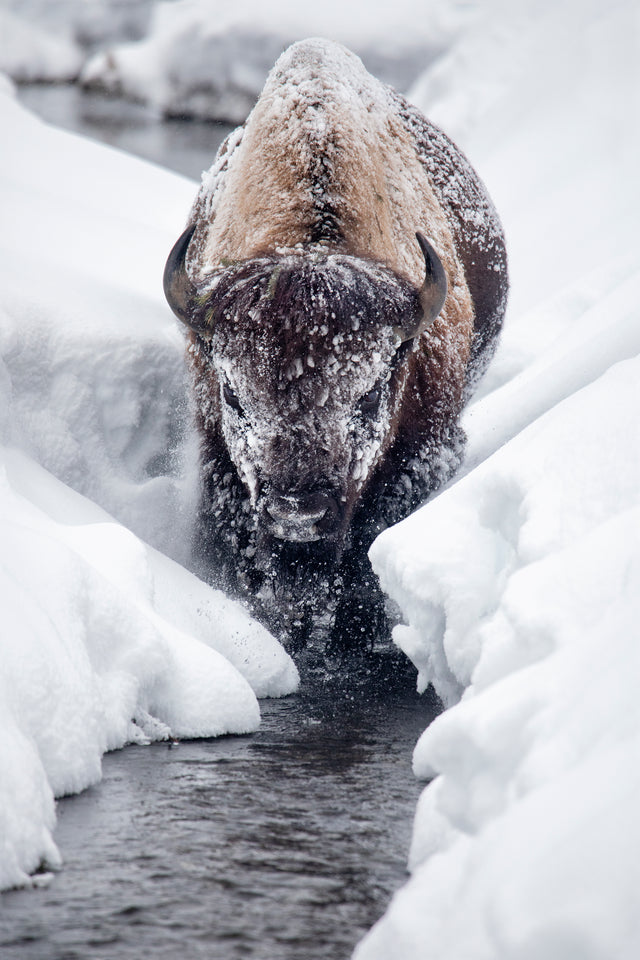 Ice Bison Cometh by Curt & Stacy Howell | stretched canvas wall art