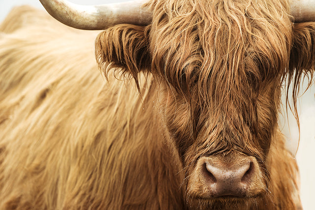 Highland Cattle III by Adam Mowery (Canvas Wall Art)