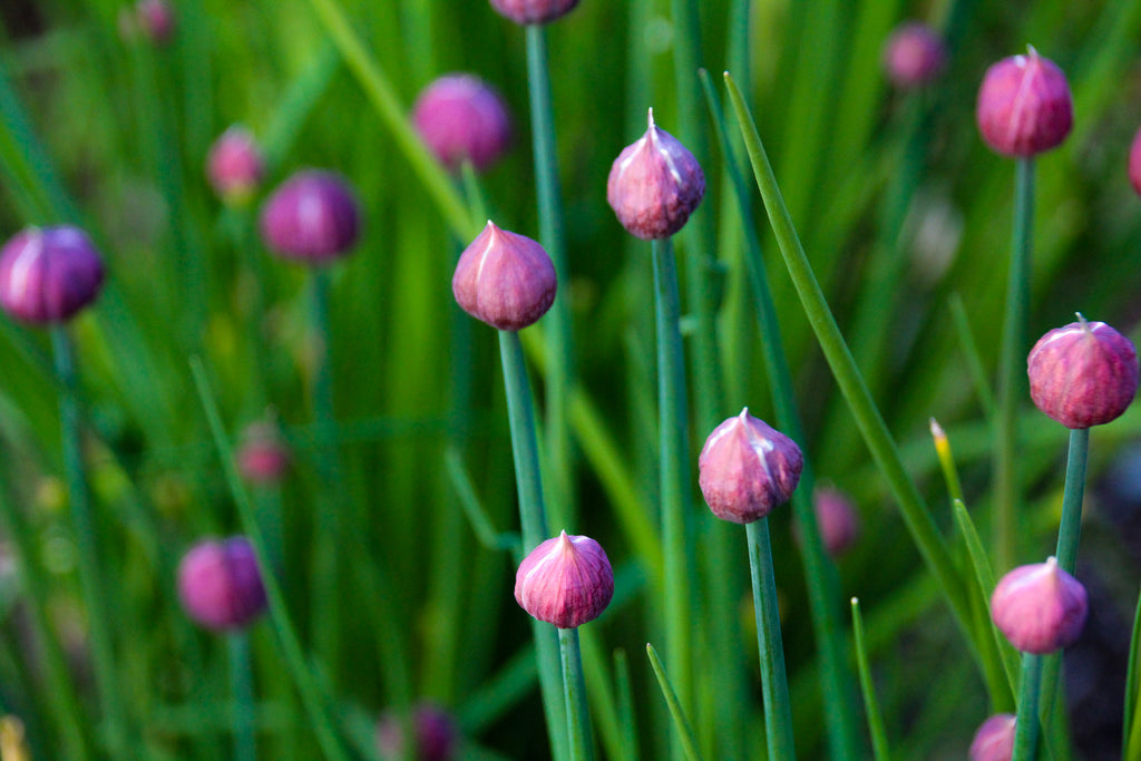 Chive Purple Flowers photograph by Georgina Sonmor