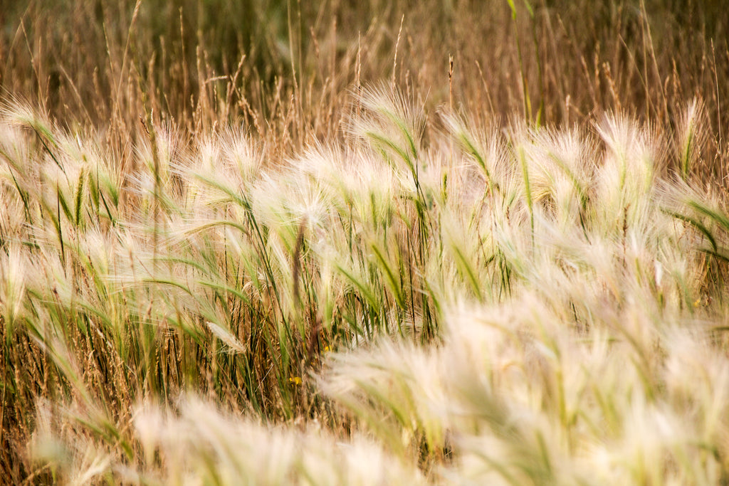 photograph of flowing Alberta grass taken by Georgina Sonmor