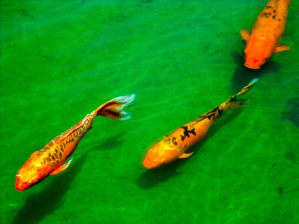3 Golden Koi swimming in pond photography taken by Georgina Sonmor