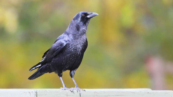 How to Befriend Crows