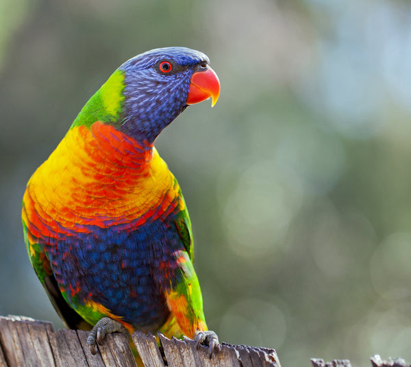 Tame The Rainbow: The Rainbow Lorikeet