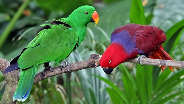 Simple yet Striking: The Eclectus Parrot