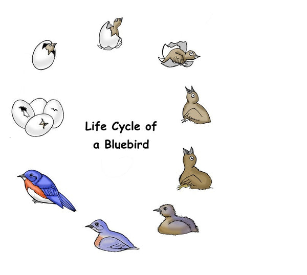Birds Life Cycle