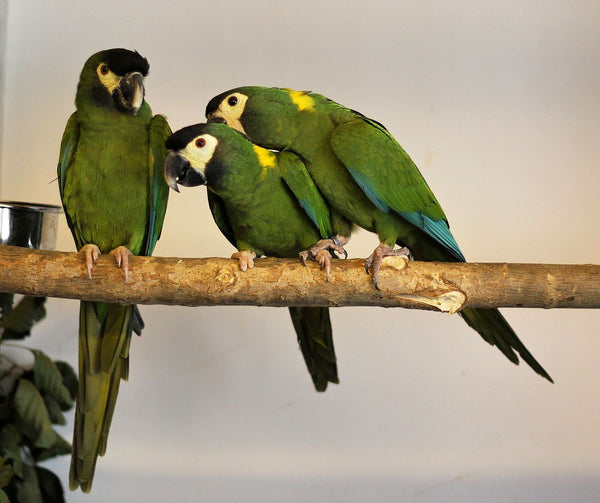 The Mini-Macaws: Full Macaw Personality in A Small Package