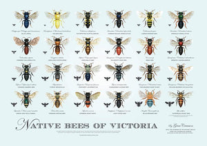 Native Bees of Victoria - Poster