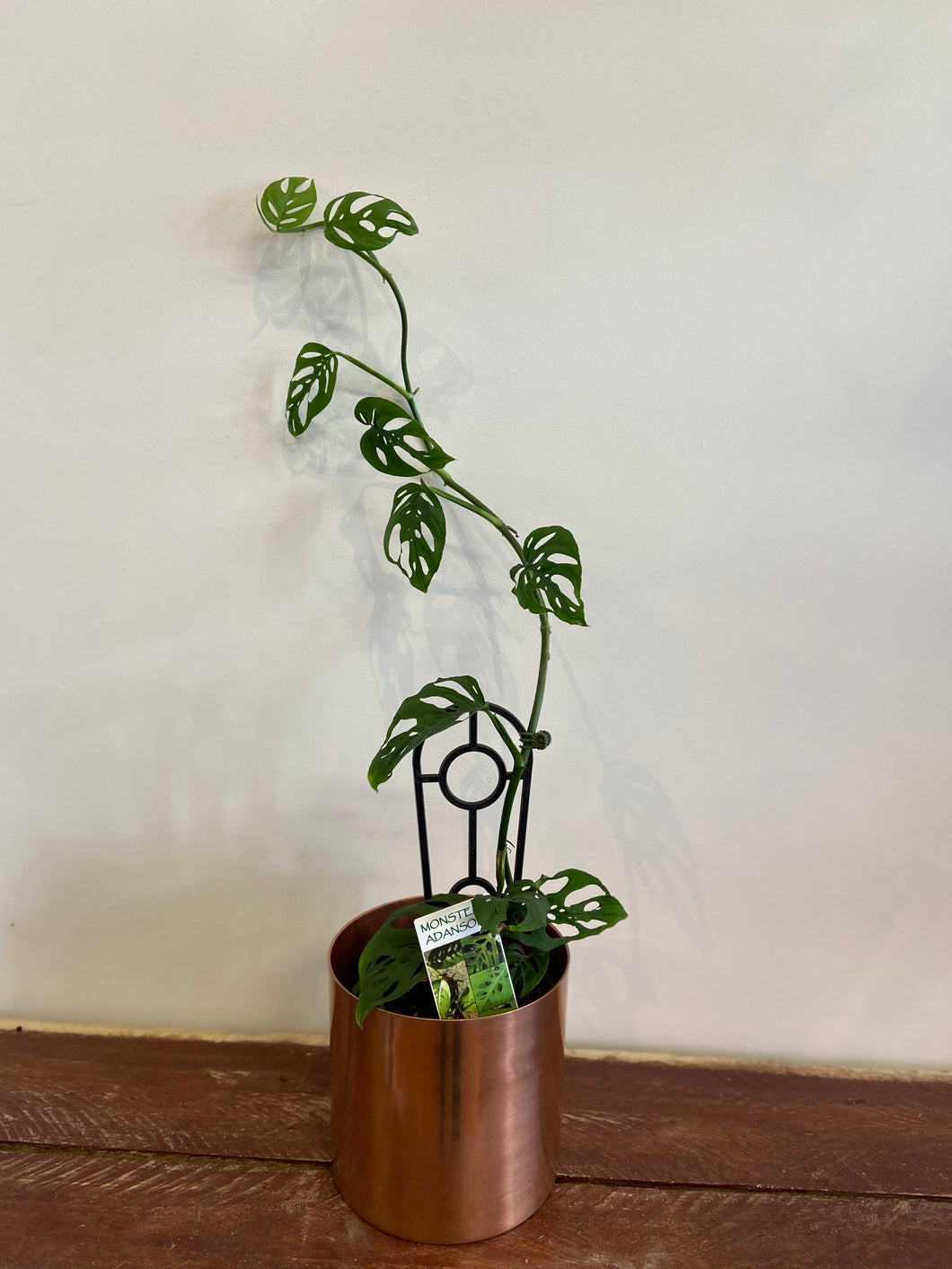 Swiss Cheese trailing plant