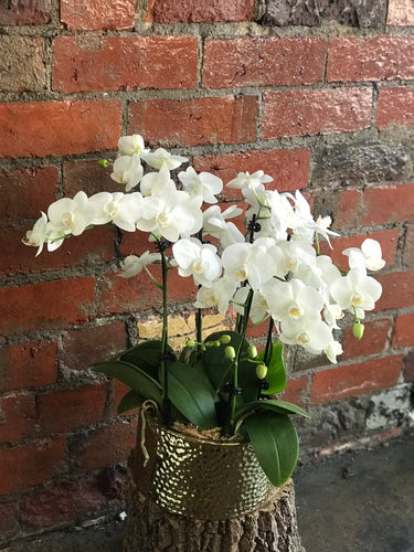 Phalaenopsis plant in golden pot