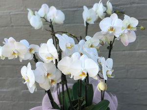 Luxury orchid plants