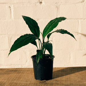 Potted Plant- Spathiphyllum Lily