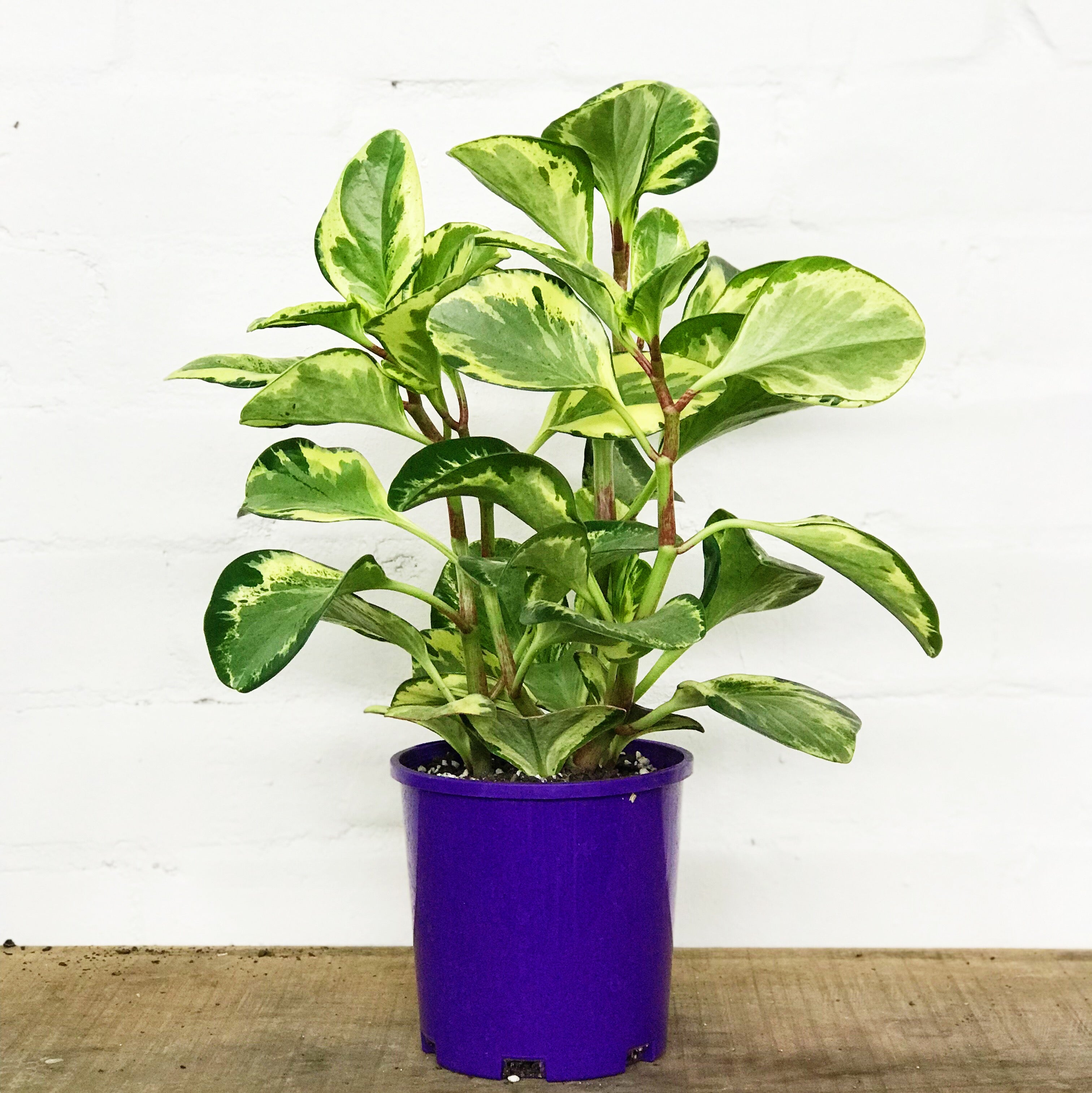 Just Plants-Peperomia