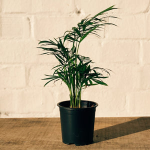Potted Plant- Parlour Palm