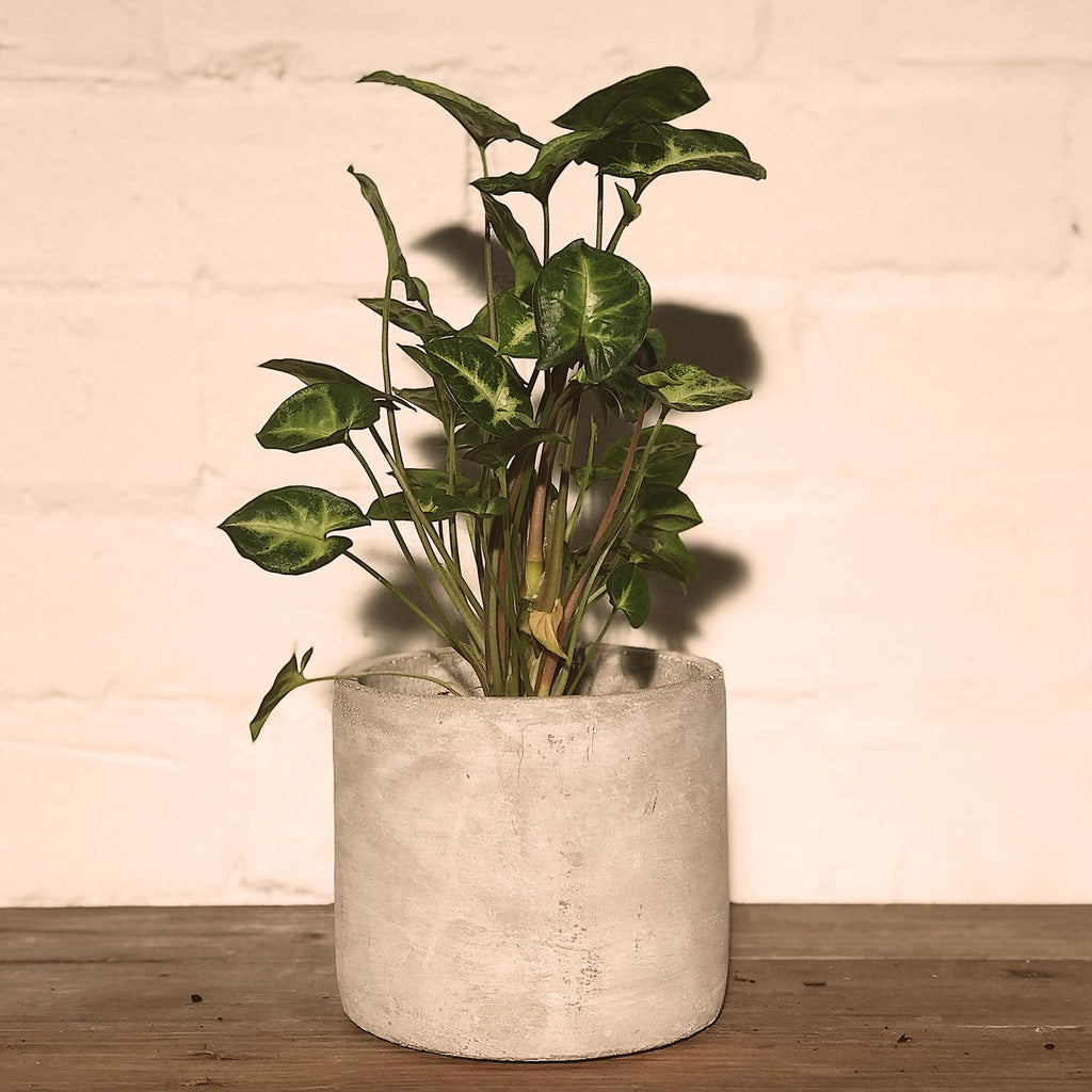 Potted Plant- Syngonium