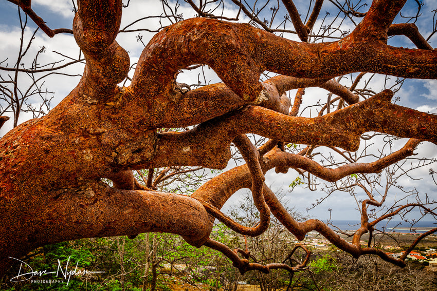 Crazy Tree of Bonaire