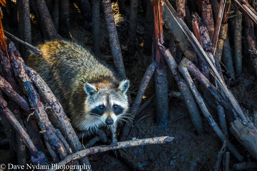 Racoon in Everglades