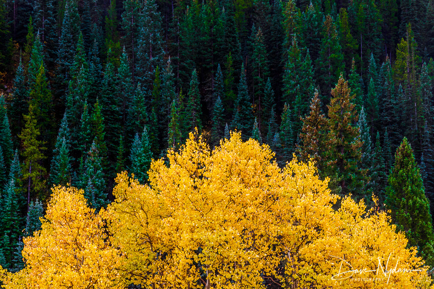Yellow on Evergreens Kebler Pass Colorado