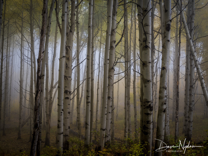 Moody Forest Kebler Pass Colorado