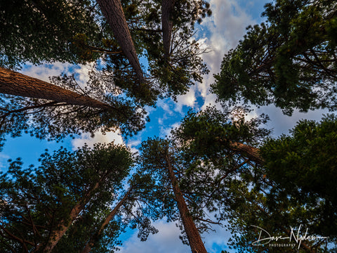 Looking Up Into Pines South Lake Tahoe