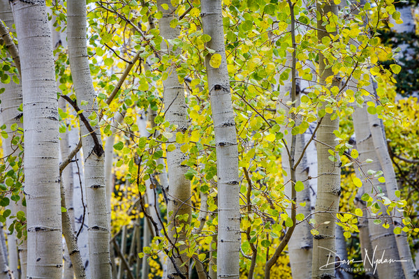 Colorado Aspens of Owl Creek