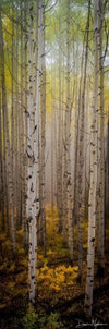 Colorado Aspens in the Mist as Vertical Panorama