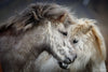 White Icelandic Horses Nuzzling Photograph as Limited Edition Fine Art Print