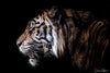 Profile of Tiger Limited Edition Photograph as Fine Art Print