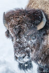 Snowy Bison Bust Limited Edition Photograph as Fine Art Print