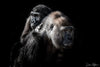 Mother Gorilla with her Baby on Her Back Limited Edition Photograph as Fine Art Print